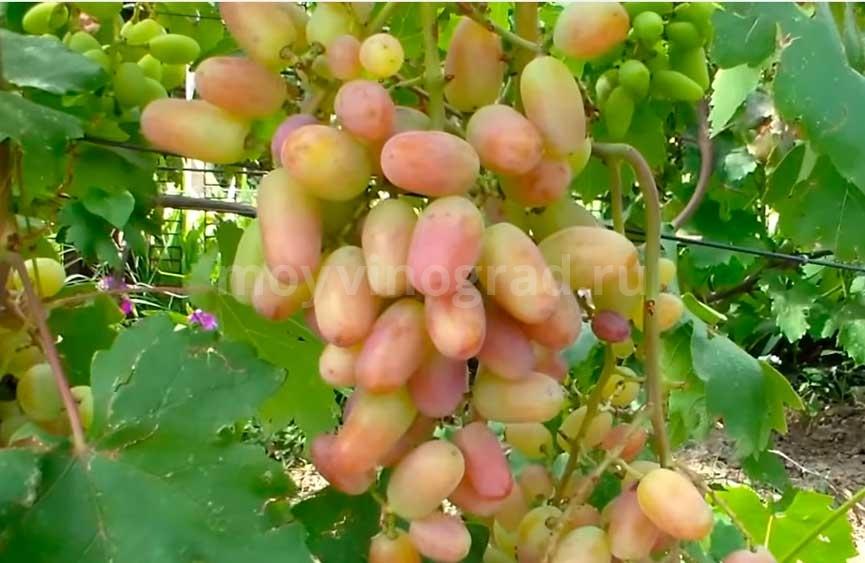 Характеристика винограда Виктор фото
