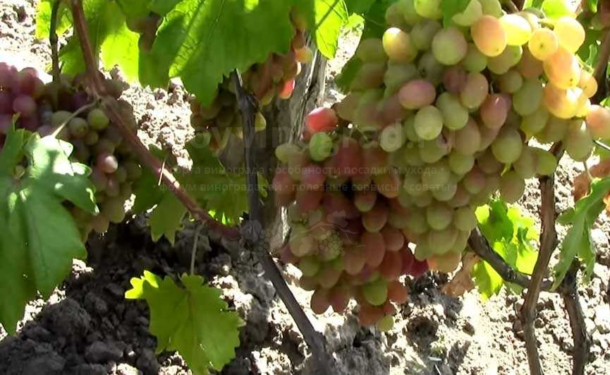 виноград юлиан кусту 3-ий год