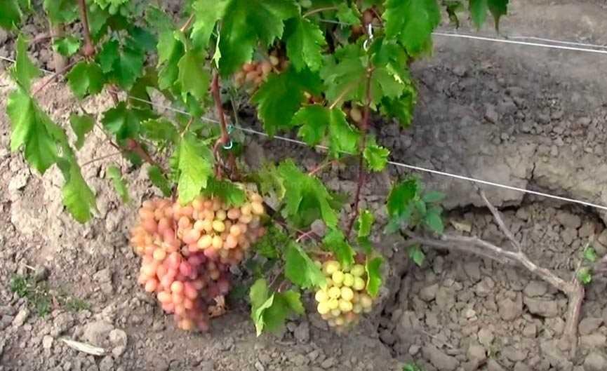 виноград-юлиан-на-кусту-фото