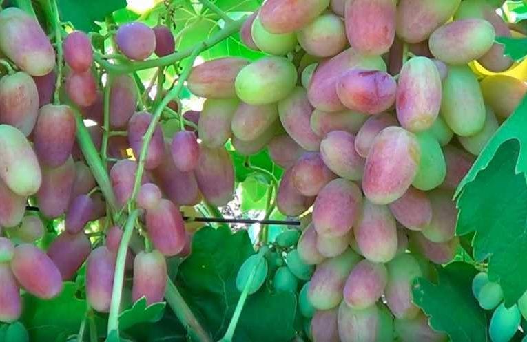 виноград-юлиан-привитый-2-фото