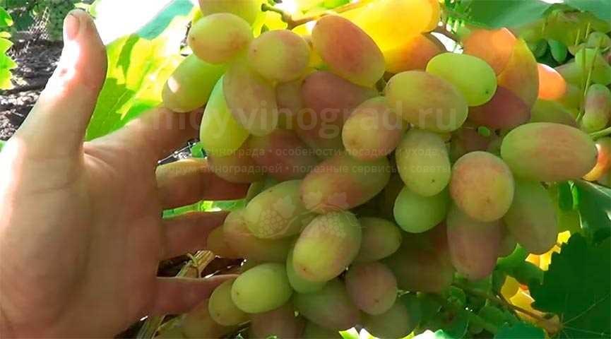 Гроздь винограда Юлиан фото
