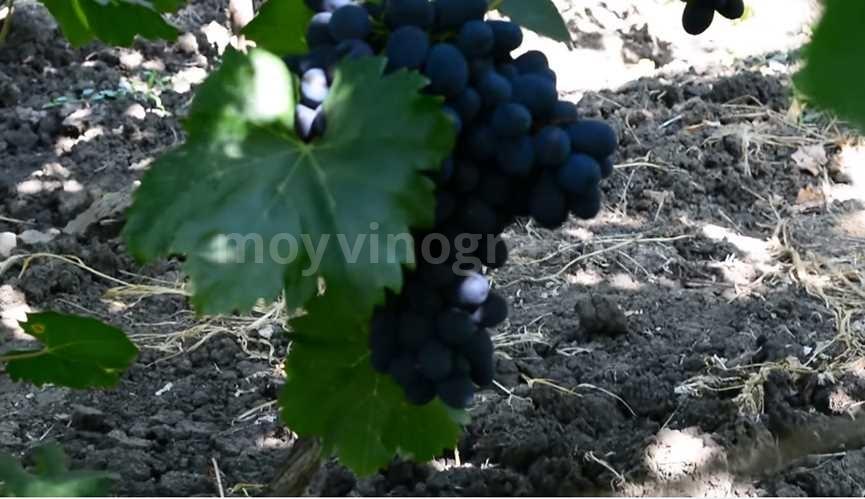 Винограда забава характеристика фото