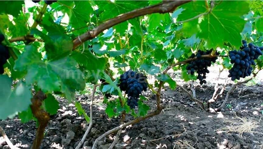 Сорт винограда черная Лора (Забава) фото