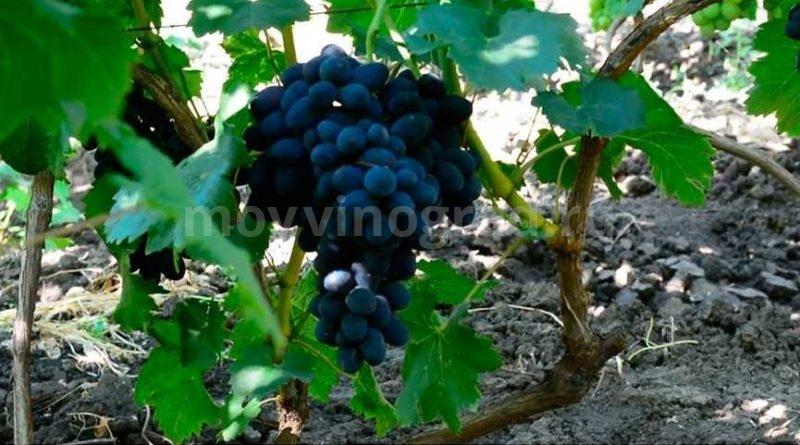 Виноград сорта Забава фото