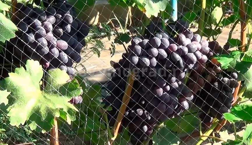 Забава винограда сорт фото