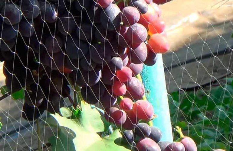 Виноград Забава в сетке фото