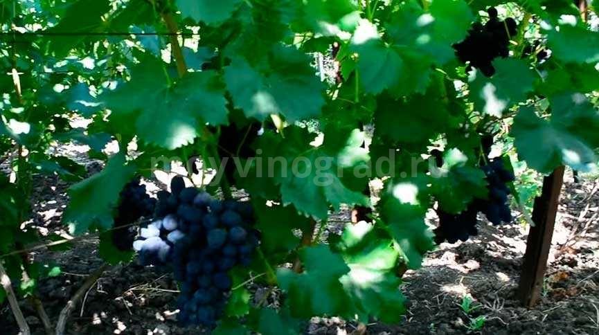 Гроздь винограда Забава фото