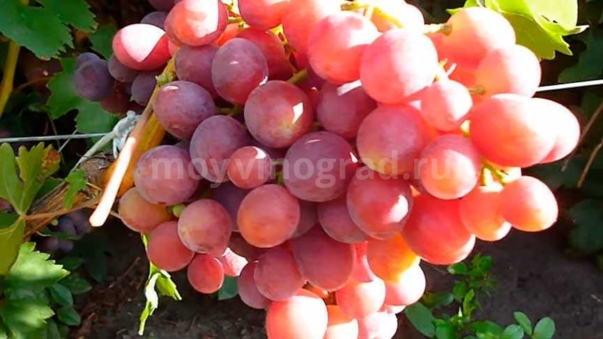 виноград-заря-несветая-еще-недозревшая-гроздь-фото