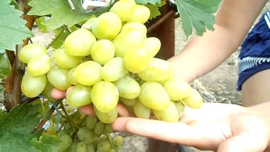 Аркадия винограда характеристика фото