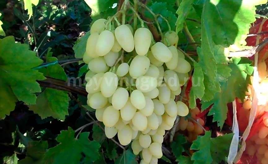 Виноград Киш Миш Долгожданный фото