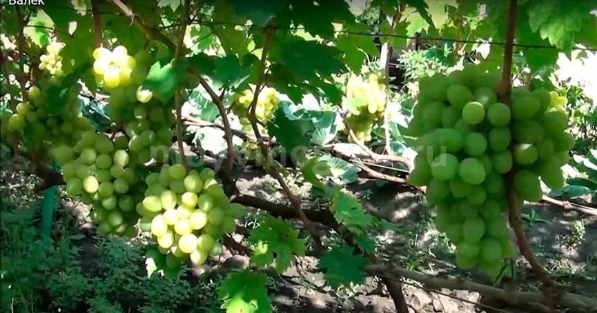 Виноград Валек куст фото