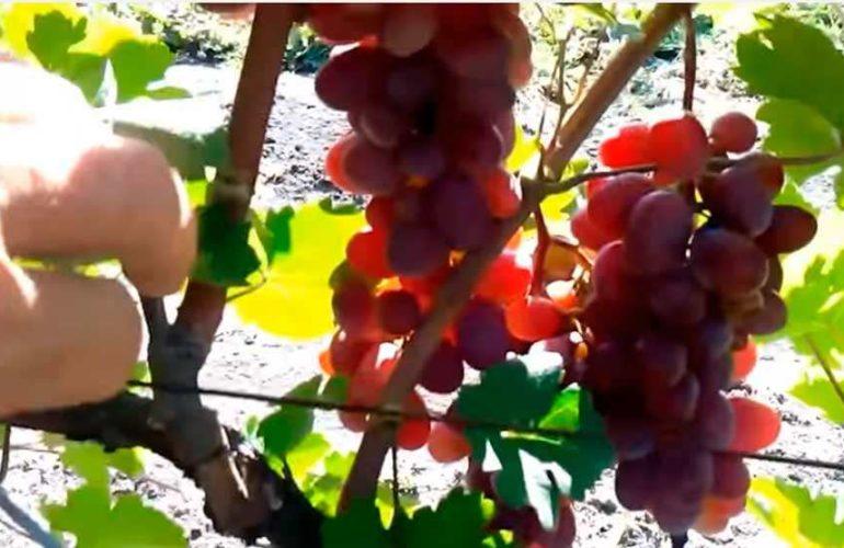 виноград-виктория-грозди-фото