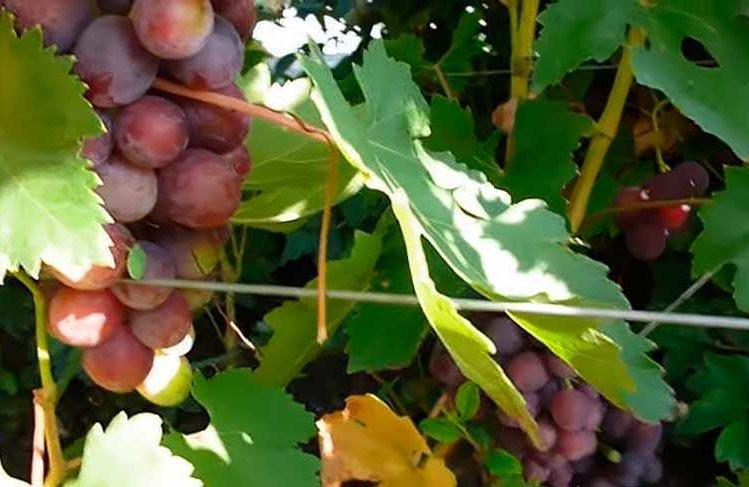 Заря несветая недозревшая гроздь фото