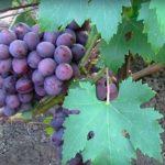 Заря Несветая сорт винограда фото