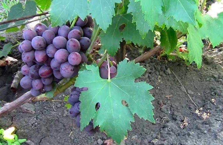 Виноградный сорт Заря Несветая фото