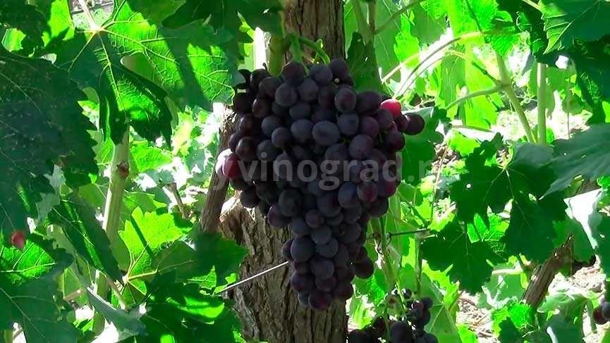 Виноград сорта Заря Несветая фото