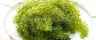 Морской виноград фото