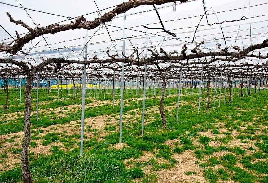 Делаем сами шпалеры для винограда фото