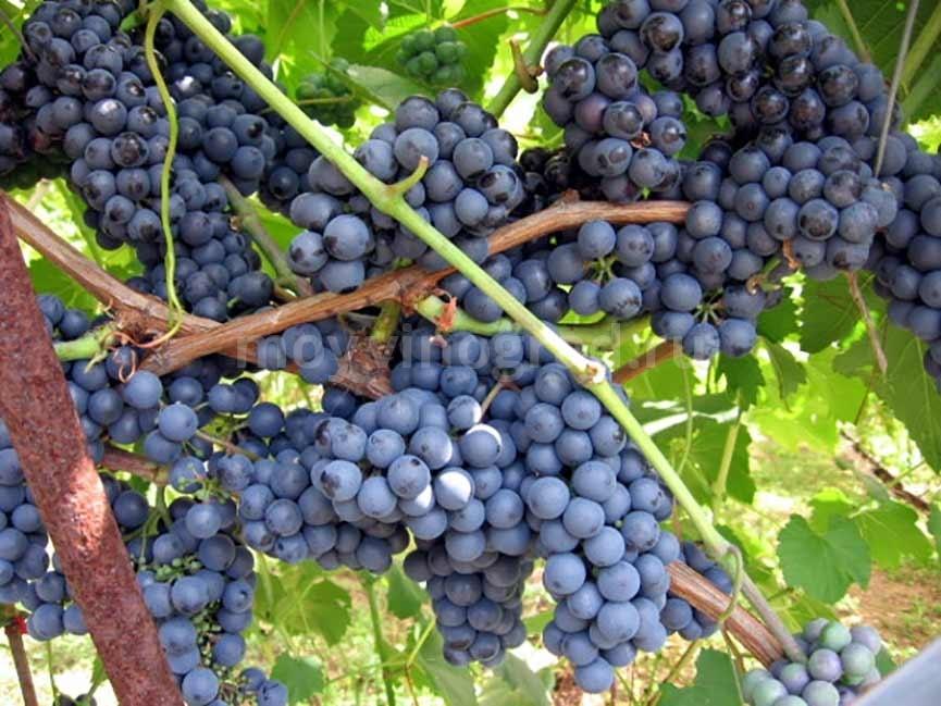 Как выглядит виноград Регент фото