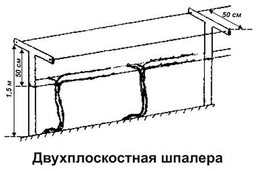 прямая двухполостная шпалера фото
