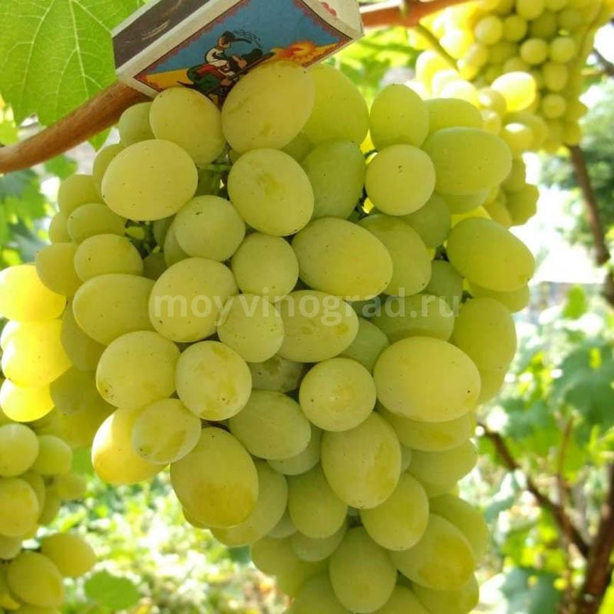 Большая кисть винограда Белое Чудо фото