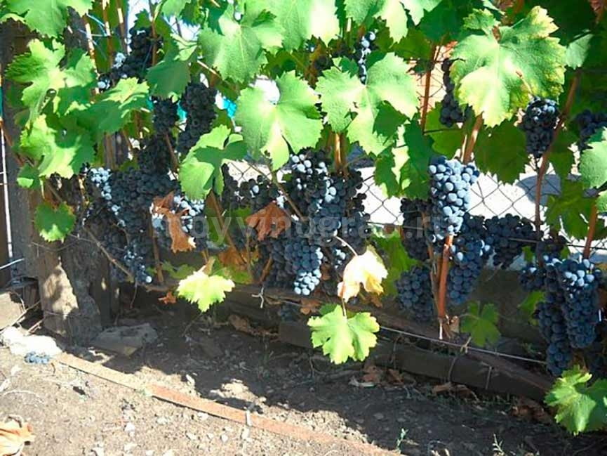 Регент технический виноград фото
