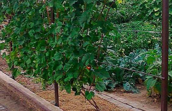 Виноград на шпалере фото