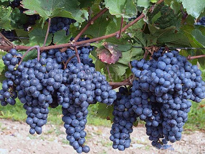Сорт винограда Регент фото
