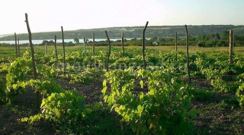 Фото виноградника