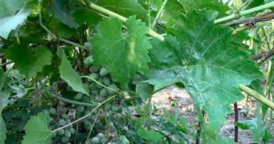 Оидиум винограда меры борьбы фото