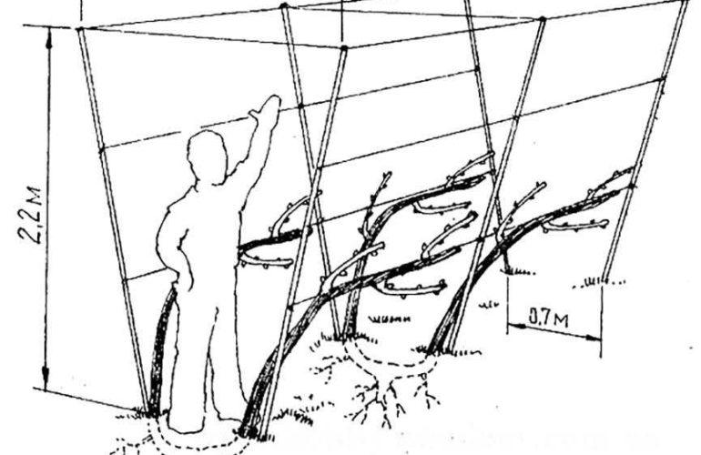 двухполосная шпалера схематичный чертеж фото