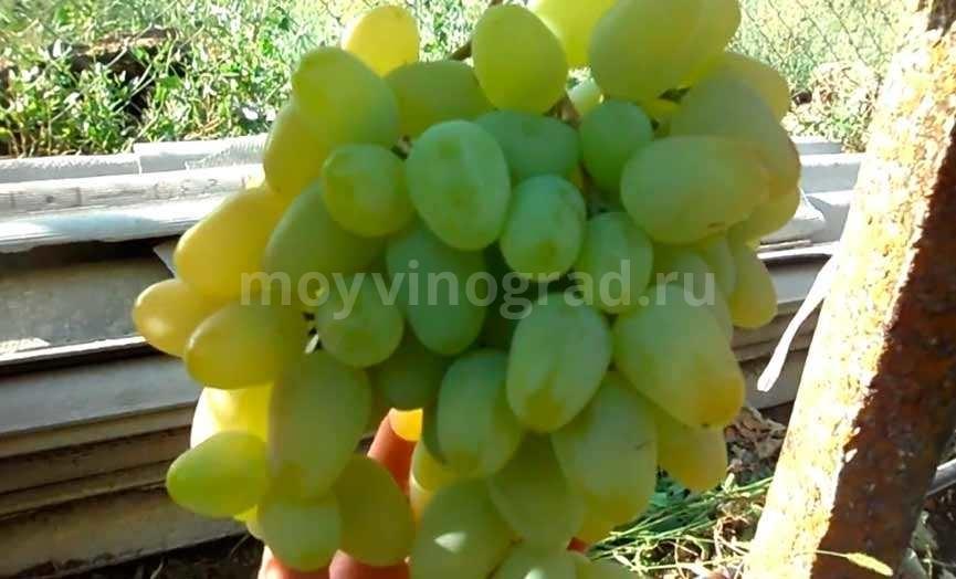 Монарх виноград кисть фото