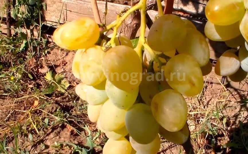 Монарх виноград сорт фото