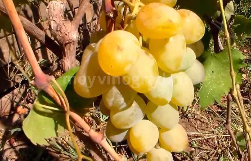 Груна винограда Монарх фото