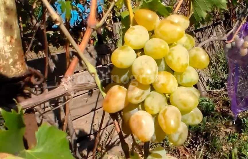 Янтарного цвета виноград Монарх фото