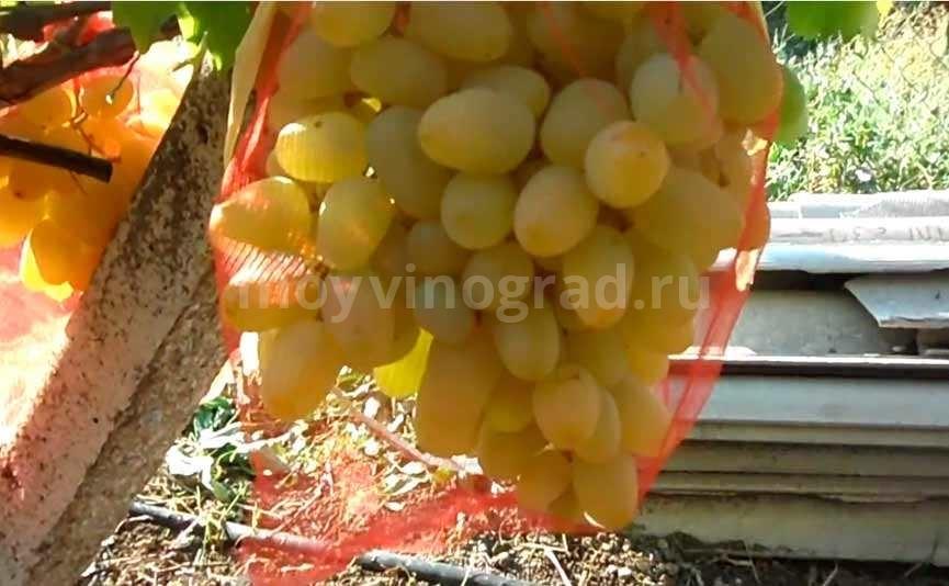 Виноград Монарх в сеточке фото