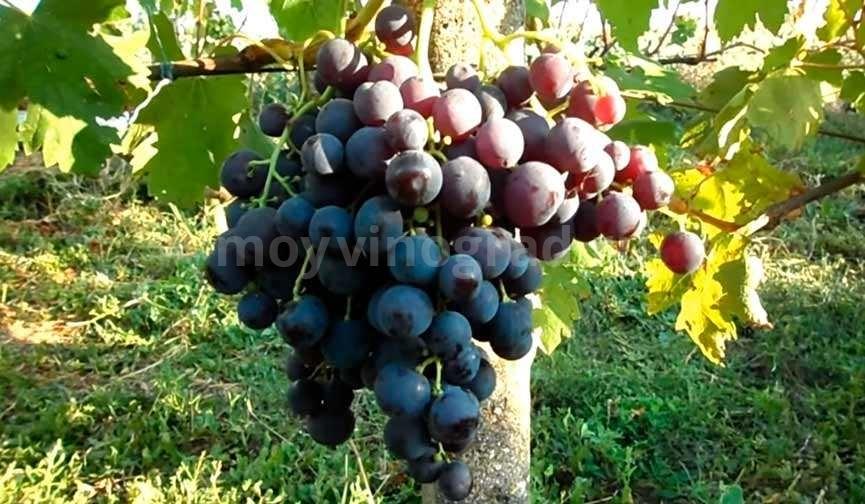 Большая гроздь винограда Рошфор фото