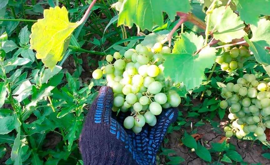 Пример винограда Гарольд фото