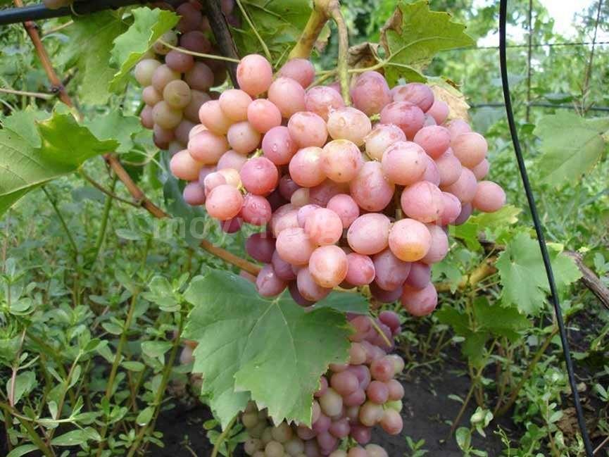 Сорт винограда Ливия описание фото