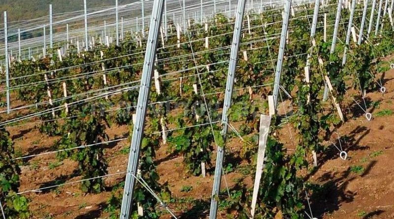 как выглядит шпалера винограда фото