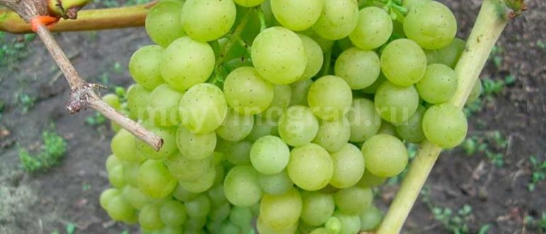 Сорт винограда Белое Чудо фото