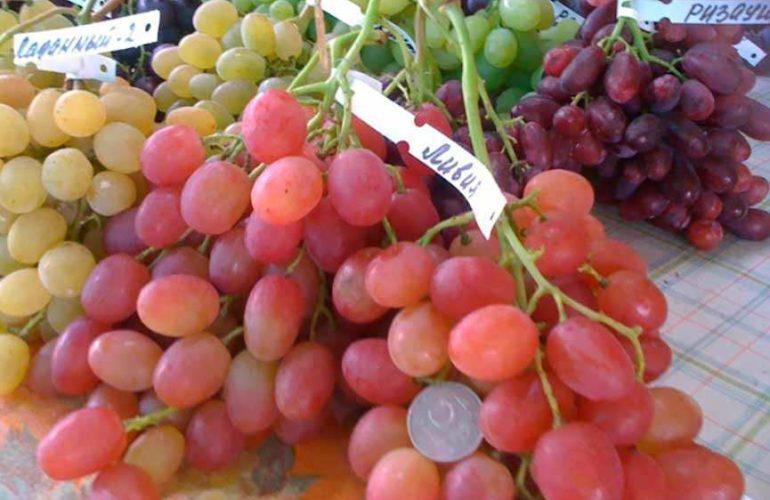 Ливия виноград сорт фото