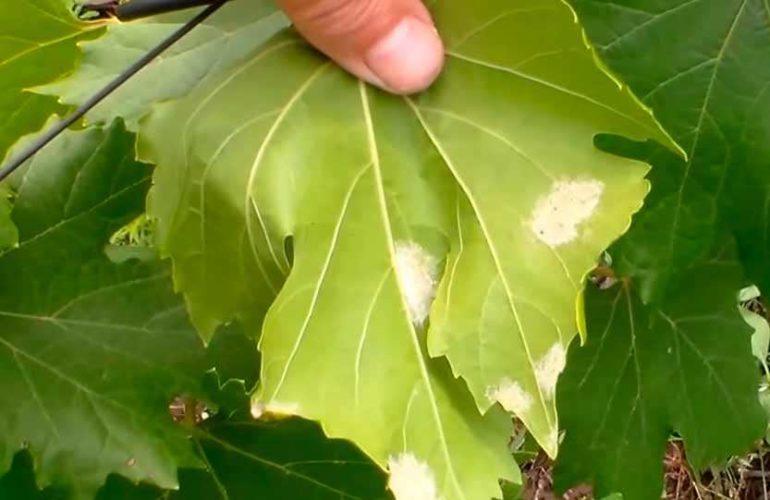 очаги милдью на листах винограда фото