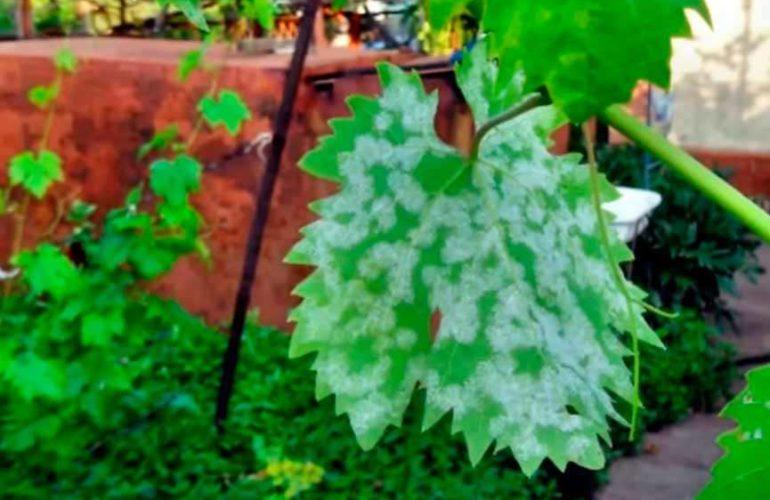 Заражение милдью листов винограда фото