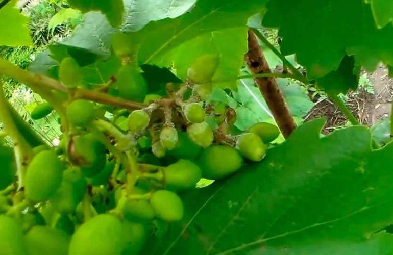 милдью на ягоды винограда фото