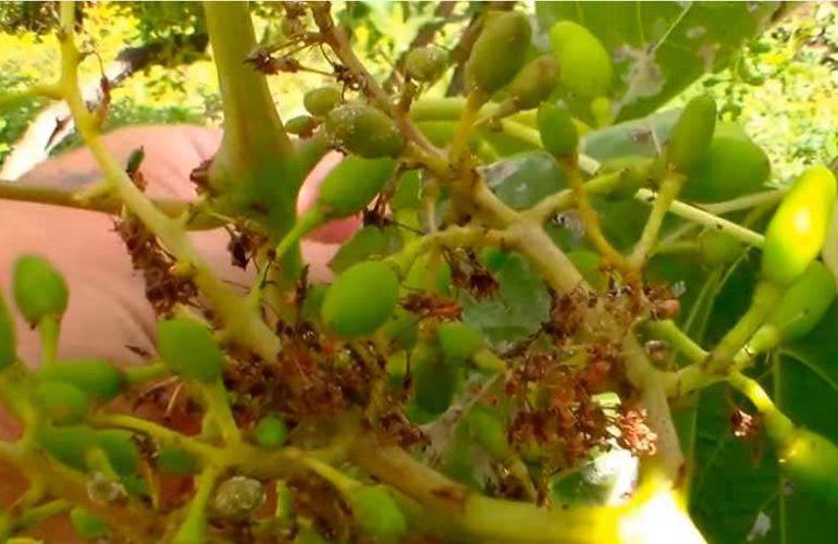 заражение милдью плодов фото