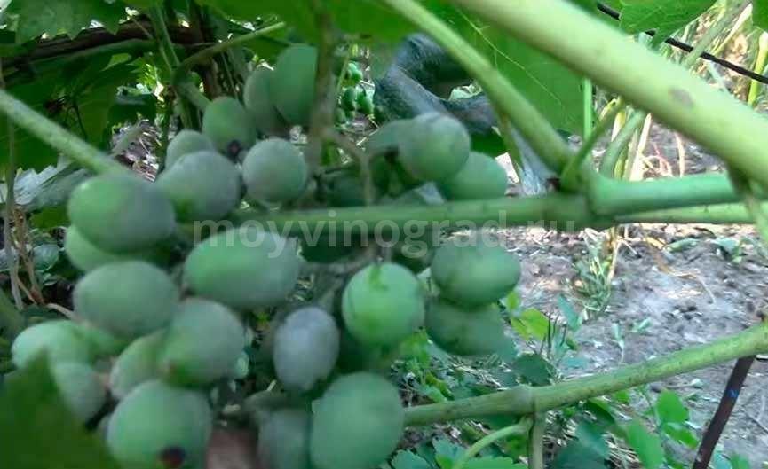 Ягоды винограда пораженные оидиумом фото