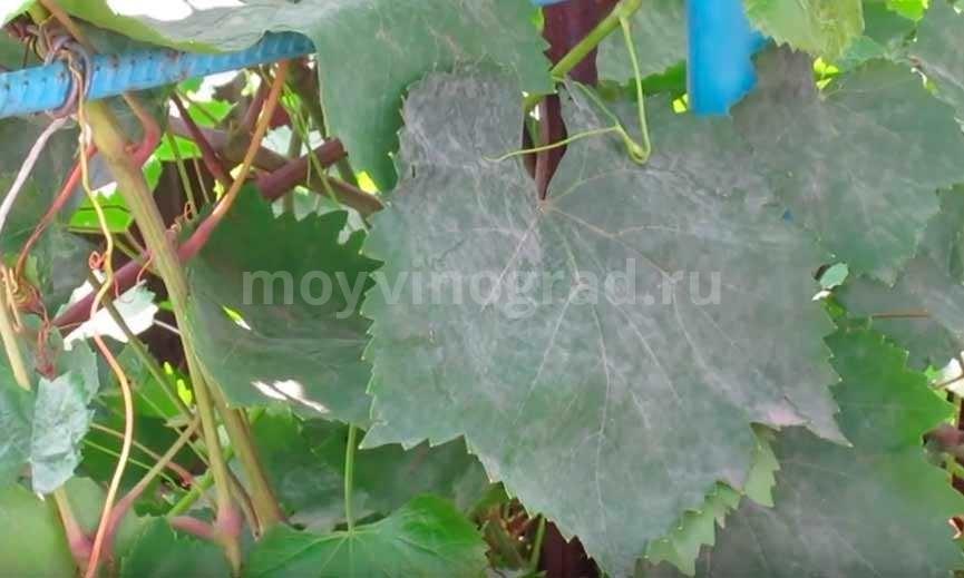 Оидиум на листе винограда фото