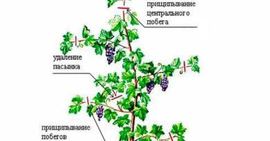 Пасынкование винограда фото