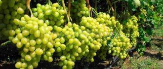 урожай винограда фото